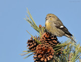 _NW86293 Juvenile White Winged Crossbill
