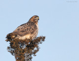 _NW86367 Red Tail Hawk.jpg