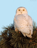 _NW99559 Snowy Owl in Pine at Sunrise
