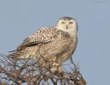 _NW91163 Snowy Owl on Snag.jpg