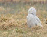 _NW92420 Snowy Owl Alert in Grass.jpg