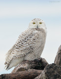 _NW92518 Snowy Owl on Brush Pile 2.jpg