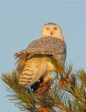 _NW92646 Snowy Owl at Dawn in Pine.jpg