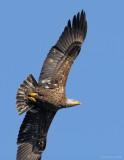 _NW92951 Juvenile Bald Eagle Sample.jpg