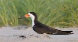 _NW98525 Black Skimmer Female at Dawn.jpg