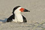 _NW98614 Black Skimmer Female on Nest at Dawn.jpg