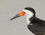 _NW98829 Black Skimmer Male Portrait.jpg