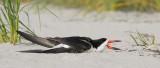 _NW99793 Black Skimmer In The Heat.jpg