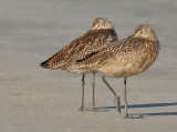 _NW90242 Marbled Godwits at Rest.jpg