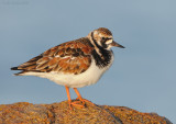 _NW03400 Ruddy Turnstone at Dawn