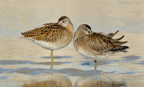 _NW90315 SB Dowitchers at Rest.jpg