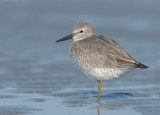 Red Knot ~ Plymouth MA