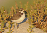 Semipalmated Plover Worn Juvenile