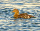 Common Eider Female