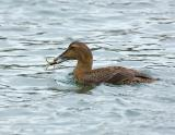 186 Common Eider Female with Prey (crab)