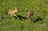 Frolicking Whitetail Deer ~Fawns