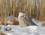 Snowy Owl Snoozing in the Marsh