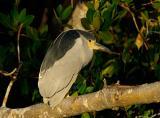 Black Crowned Night Heron Late Afternoon