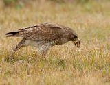 Juvenile Red Shoulder Hawk Eating Beetle