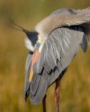 220 Great Blue Heron..Afternoon Snooze