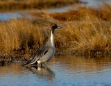 199 _JFF0866 Male  Northen Pintail Duck