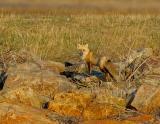 _JFF1486  Red Fox on Dike