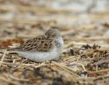 semipalmated_sandpipers_2