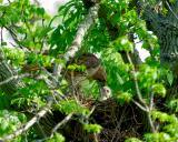 _JFF6214 Red Tail Hawk Feeding Chick.jpg