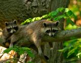 _JFF7050 Racoon and Baby.jpg