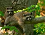 _JFF7068 Racoon and Baby 2.jpg