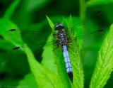 _JFF8832 Blue Dragonfly.jpg