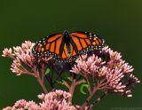 _JFF2036 Monarch Wings Spread.jpg