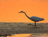 _JFF2131 Great Egret at Sunset.jpg
