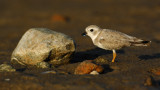 JFF1782 Piping Plover Non Breeding Plumage