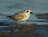 JFF1795 Piping Plover Non Breeding Plumage
