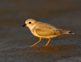 JFF1897 Piping Plover Non Breeding Plumage