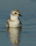 JFF1729 Piping Plover Non Breeding Plumage