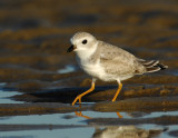 JFF1747 Piping Plover Non Breeding Plumage