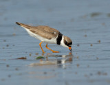JFF3199 Semipalmated Plover Feeding Bay Side