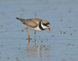 JFF3205  Semipalmated Plover Feeding Bay Side