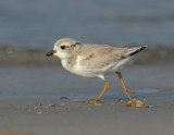 JFF3288 Piping Plover Hatch Year