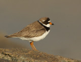 JFF3622 Semipalmated Plover  Bay Side