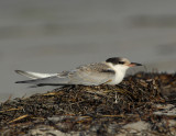 _JFF3644 Common Tern Hatch Year Resting Rack Line