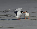 _JFF3650 Common Tern Adult Feeding Young