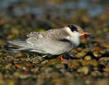 _JFF0435 Common Tern Fledgling on gravel