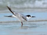 _JFF7143 Common Tern Winter Plumage