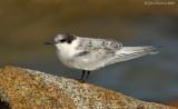 _JFF8614 Roseate Tern Fledgling