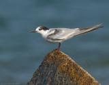 _JFF8641 Common Tern Winter Plumage