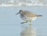 _JFF4342 Red Knot Pre Fall Migration