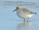 _JFF4352 Red Knot Pre Fall Migration